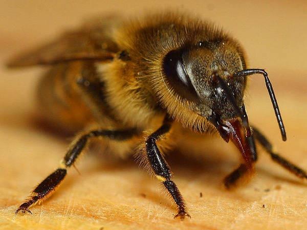 2- As abelhas