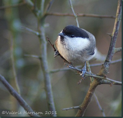 12-willow-tit