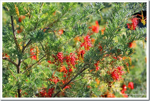131124_UCD_Arboretum_AustralianCollection_87