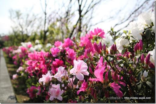 2010陽明山花季-杜鵑花