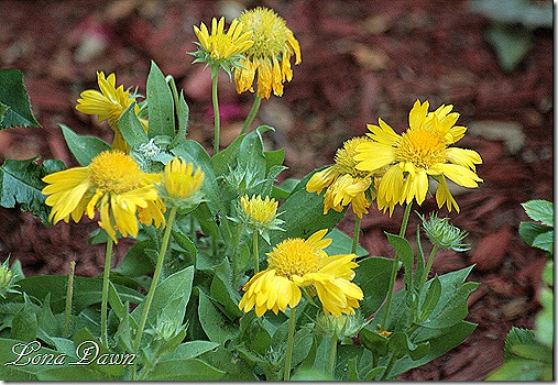 Mesa_Yellow_Gaillardia