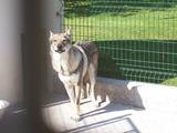 2013.08.20-022 chien loup tchèque