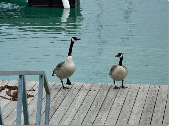Montrose Harbor geese 2