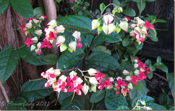 07-22-clerodendrum
