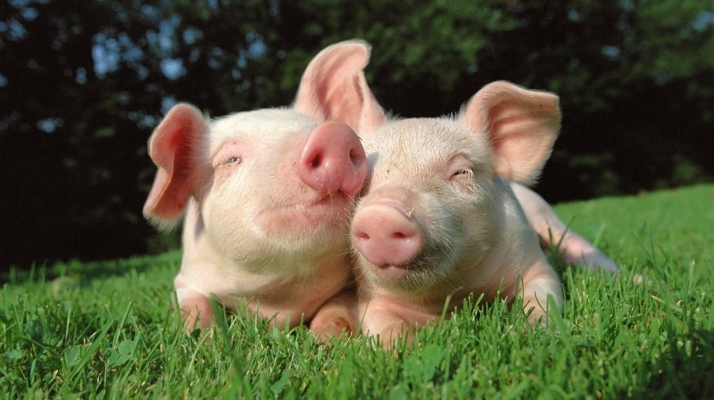 pigs-in-love pictures
