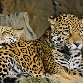 Leopards resting by Erin Czech - Animals Lions, Tigers & Big Cats ( cats, spots, animals, zoo, leopards )