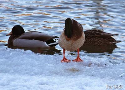 A Mallard  Duck Grooming