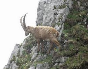 Amazing Pictures of Animals, Photo, Nature, Incredibel, Funny, Zoo, Alpine ibex, Capra ibex, Mammalia, Alex (16)