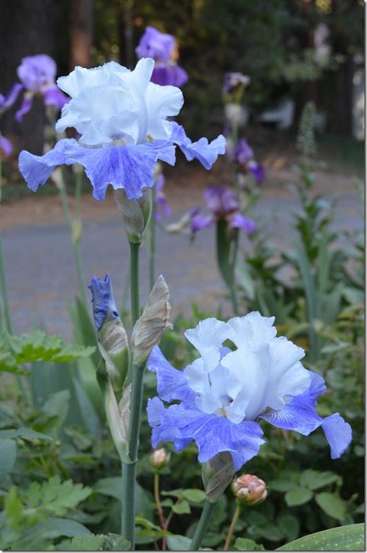 elize2 iris
