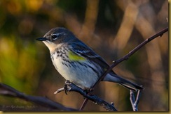 Yellow Rumped Warbler D7K_6455 October 21, 2011 NIKON D7000
