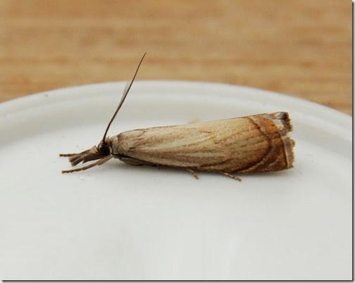 Garden-Grass-Veneer-Chrysoteuchia-culmella