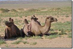 07-22 076 800X chameaux dans le gobi