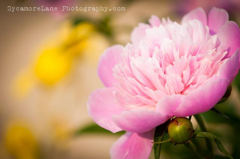 SycamoreLane Photography-peony