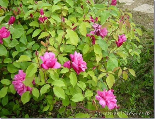 rosa general schablikine