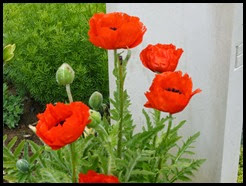a poppies_edited-1