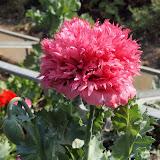 Papaver somniferum 'Paeoniflorum' - Pavot à fleur de Pivoine rose