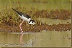 Black-necked Stilt  _ROT4156   NIKON D3S June 04, 2011
