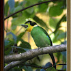 Long-Tailed-Broadbill02.jpg