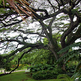 A Huge Tropical Tree At Romney Manor - Basseterre, St. Kitts