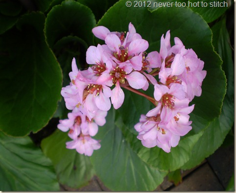 2012 winter bergenia close up