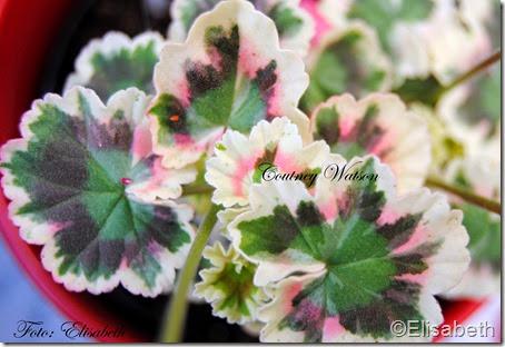 Pelargonium 16 juni -14 079