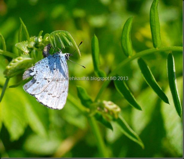 sunnuntain ötökkä kuvat outo perhonen toukka 084