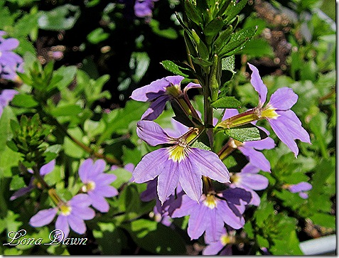 Scaevola_New_Wonder