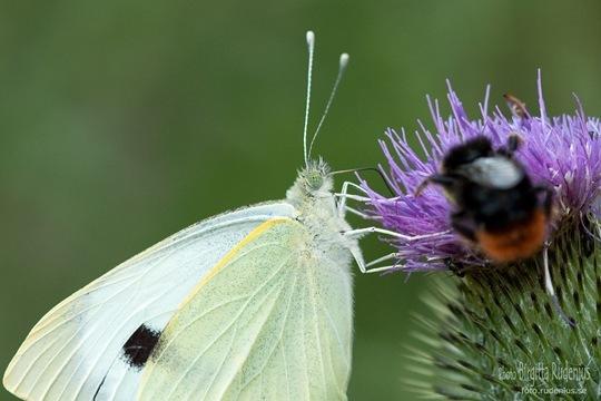 butterfly_20110731_vit1