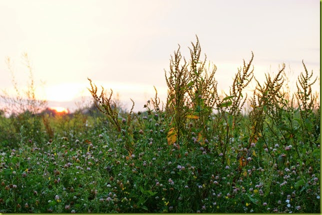 weeds at sunset
