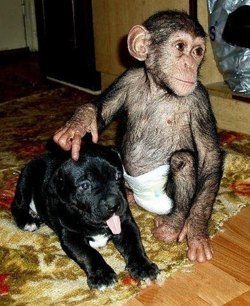 Chimpanzee Adopted By a Mastiff 012