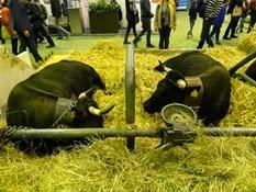 2015.02.26-070 vache Herens