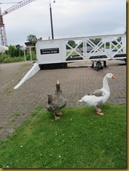 IMG_1444 Jnct Geese