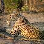 Leopard im Moremi Wildreservat © Foto: Gary Rose | Sunway Safaris