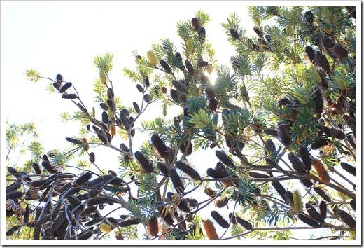 121027_UCSCArboretum_Banksia-marginata_03