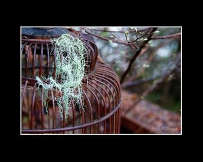 Birdcage lichen