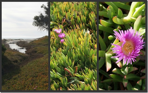 Ice Plant collage