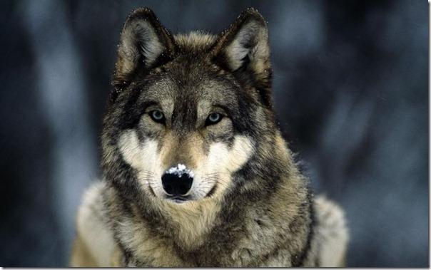 Lobos (12)