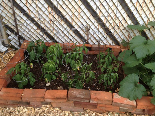 20120531 caged peppers