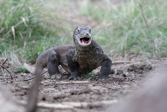 Komodo Dragon - Rinca Island - eating bugs