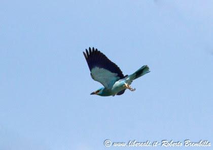 12-2014-05-20_Ghiandaia marina_Delta Po (2)