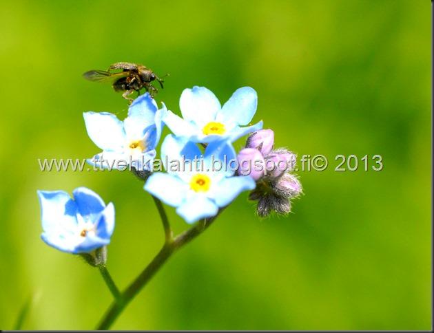 pikkutukkikärsäkkäästä (Hylobius pinastri)  muita hyönteisä 026