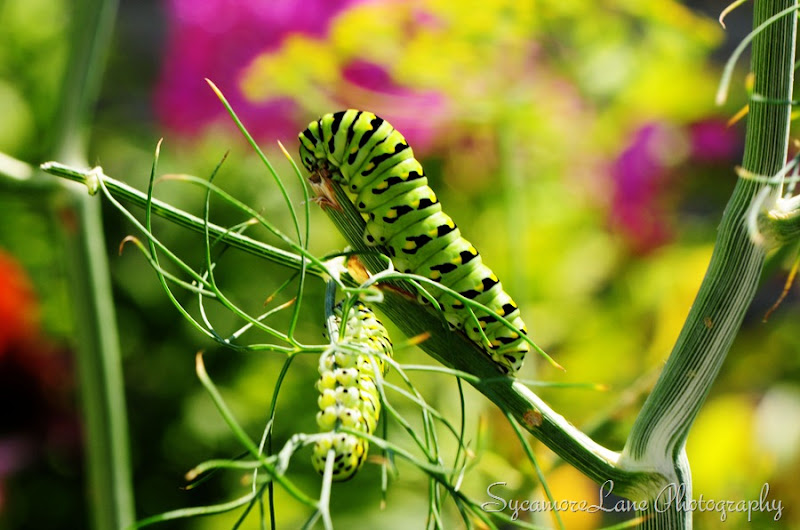swallowtail caterpillar-2