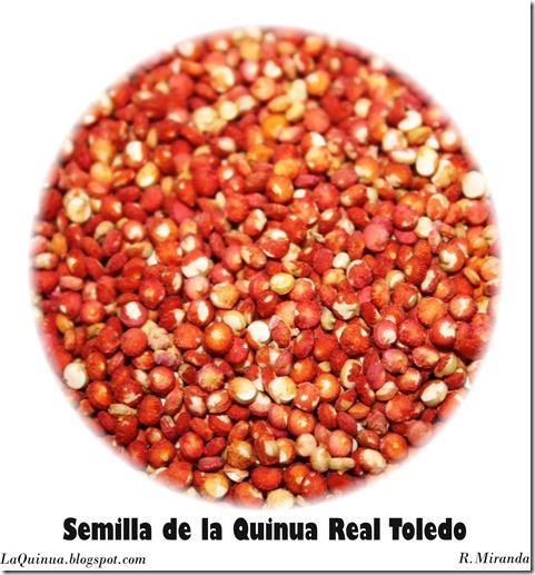 Semilla de la Quinua Real Toledo-Rubén Miranda_Laquinua.blogspot.com