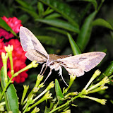 Hummingbird Moth visits
