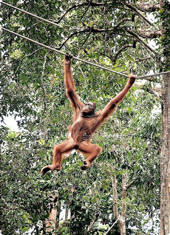 Orangutan-(2)