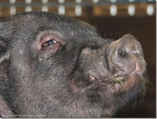 9-pig
