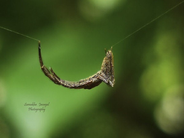 leaf mimic spider