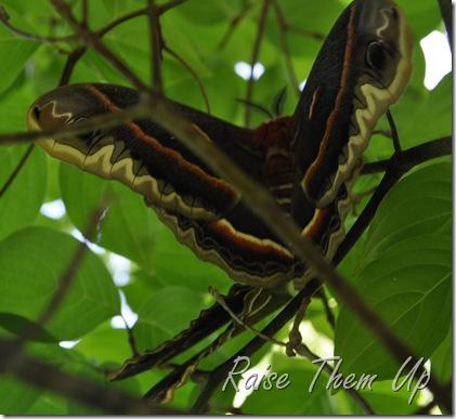 moth mamma 1