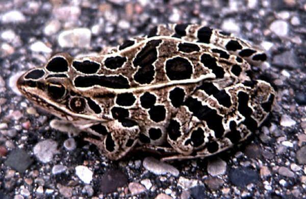 8- Sapo Leopardo