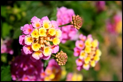 lantana4